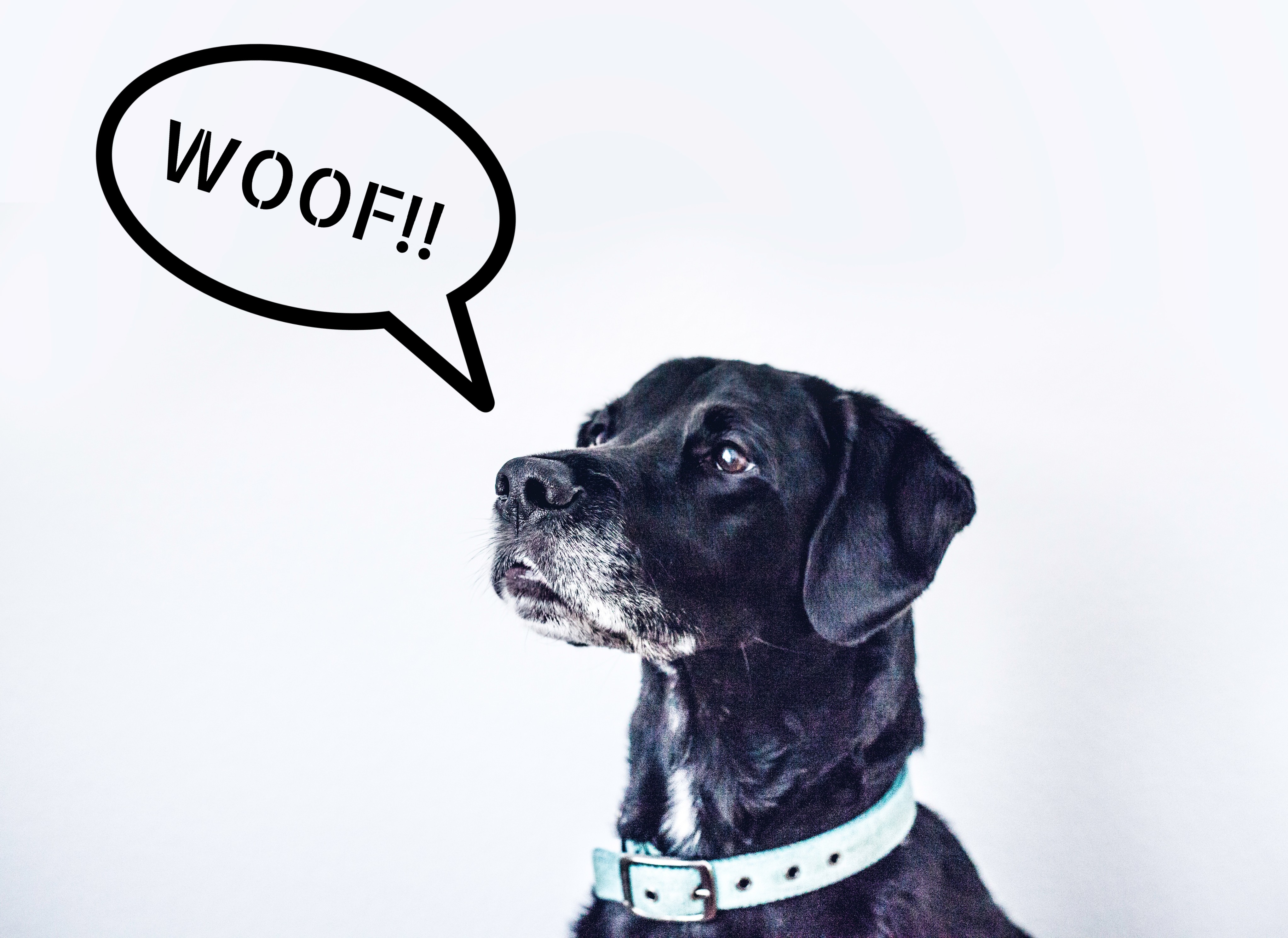 Final results - Dog image with speech bubble, added text saying WOOF